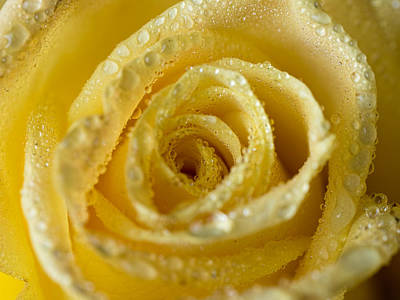 Close Up Yellow Rose Poster