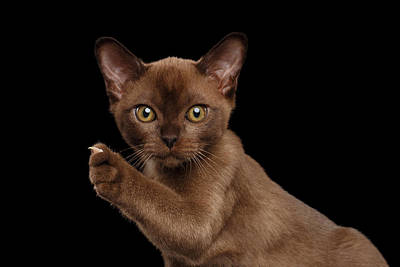 Closeup Burmese Kitten Showing Claw On Raised Paw, Black Isolated  Poster by Sergey Taran