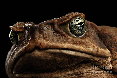 Closeup Cane Toad - Bufo Marinus, Giant Neotropical Or Marine Toad Isolated On Black Background Poster by Sergey Taran