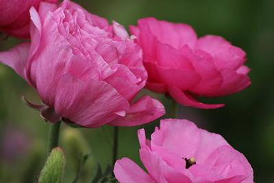Closeup Deep Peony Pink Ranunculus Poster