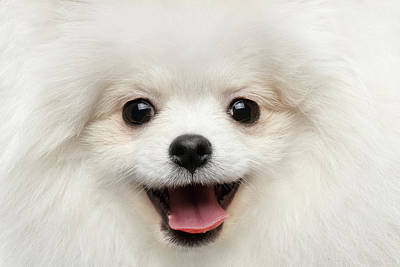Closeup Furry Happiness White Pomeranian Spitz Dog Curious Smiling Poster
