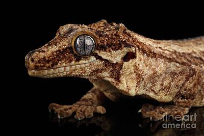 Closeup Gargoyle Gecko, Rhacodactylus Auriculatus In Profile, Staring Isolated On Black Background.  Poster