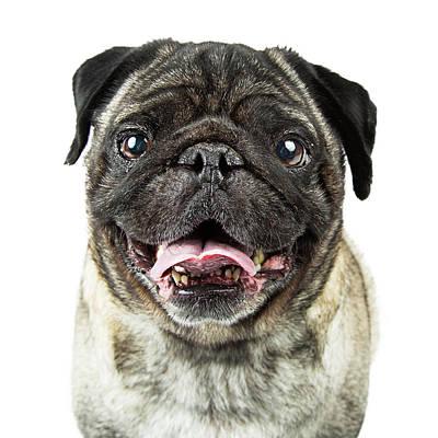 Closeup Happy Purebred Pug Dog Poster by Susan Schmitz