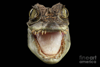 Closeup Head Of Young Cayman Crocodile , Reptile With Opened Mouth Isolated On Black Background, Fro Poster by Sergey Taran