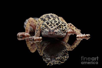 Closeup Leopard Gecko Eublepharis Macularius Isolated On Black Background, Front View Poster by Sergey Taran