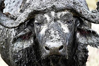 Closeup Muddy Cape Buffalo Poster