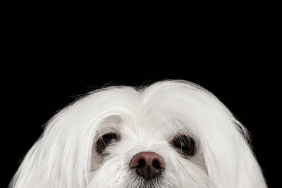 Closeup Nosey White Maltese Dog Looking In Camera Isolated On Black Background Poster
