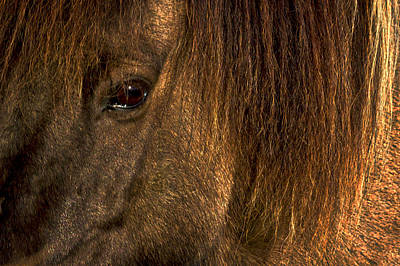 Closeup Of An Icelandic Horse #2 Poster by Stuart Litoff