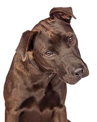 Closeup Of Labrador Crossbreed Dog Tilting Head Poster