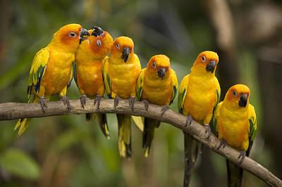 Closeup Of Six Captive Sun Parakeets Poster