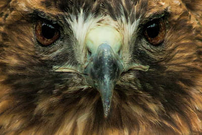 Closeup Of The Face Of A Red-tailed Hawk Poster by Randall Nyhof