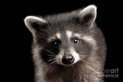 Closeup Portrait Cute Baby Raccoon Isolated On Black Background Poster