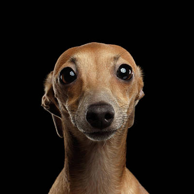 Closeup Portrait Italian Greyhound Dog Looking In Camera Isolated Black Poster by Sergey Taran
