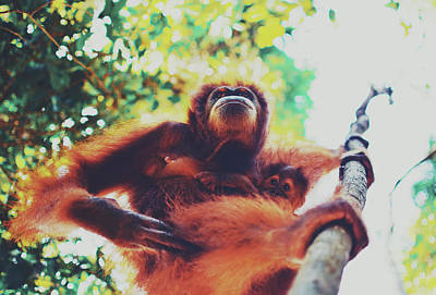 Closeup Portrait Of A Wild Sumatran Adult Female Orangutan Climbing Up The Tree And Holding A Baby Poster