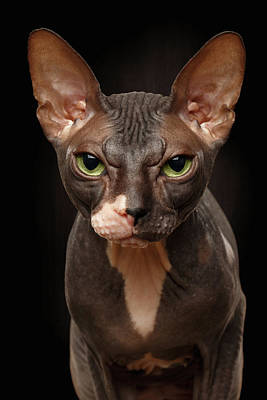 Closeup Portrait Of Grumpy Sphynx Cat Front View On Black  Poster