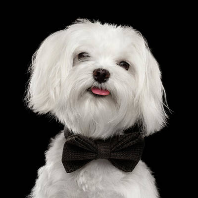 Closeup Portrait Of Happy White Maltese Dog With Bow Looking In Camera Isolated On Black Background Poster