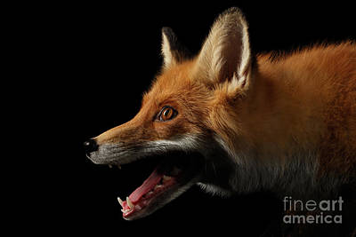Closeup Portrait Of Red Fox In Profile Isolated On Black  Poster by Sergey Taran