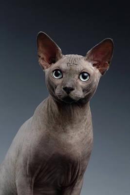 Closeup Portrait Of Sphynx Cat Looking In Camera On Dark  Poster by Sergey Taran