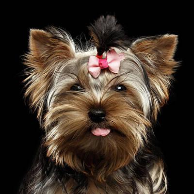 Closeup Portrait Of Yorkshire Terrier Dog On Black Background Poster by Sergey Taran