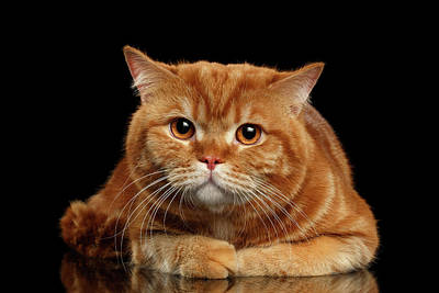 Closeup Red British Cat Lying With Cute Paws Isolated On Black Background  Poster