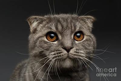 Closeup Scottish Fold Cat On Black Poster by Sergey Taran
