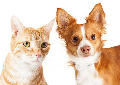 Closeup Small Dog And Tabby Cat Poster