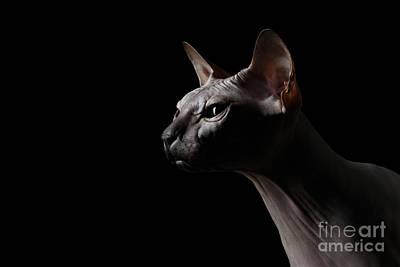Closeup Sphynx Cat Looking Forward On Black Poster by Sergey Taran