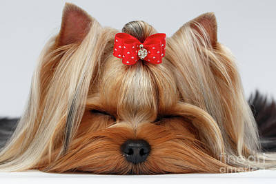 Closeup Yorkshire Terrier Dog With Closed Eyes Lying On White  Poster