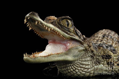 Closeup Young Cayman Crocodile, Reptile With Opened Mouth Isolated On Black Background Poster by Sergey Taran