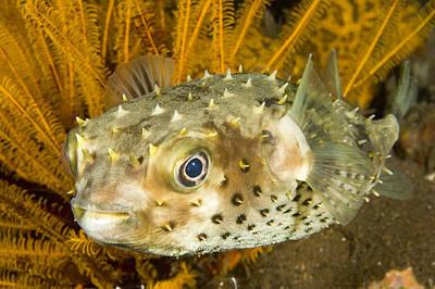 Closeupf Of A Yellowspotted Burrfish Poster