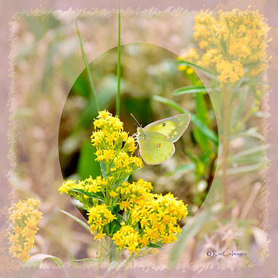 Clouded Sulphur Butterfly Sipping Nectar Poster