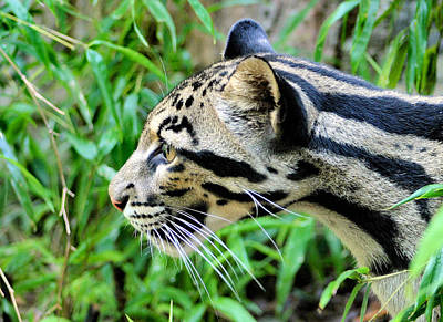 Clouded Leopard In The Grass Poster by Kristin Elmquist