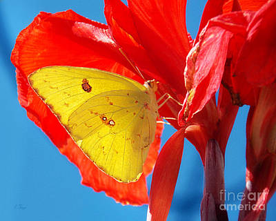 Cloudless Sulphur Butterfly Poster by Anita Faye