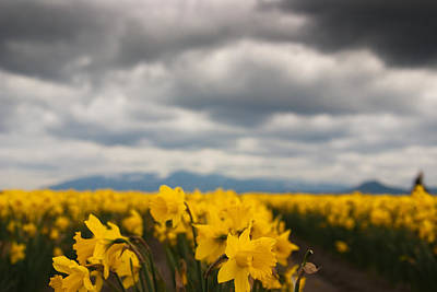 Poster featuring the photograph Cloudy With A Chance Of Daffodils by Erin Kohlenberg
