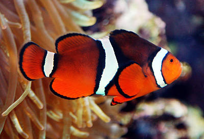 Poster featuring the photograph Clownfish by Kathleen Stephens