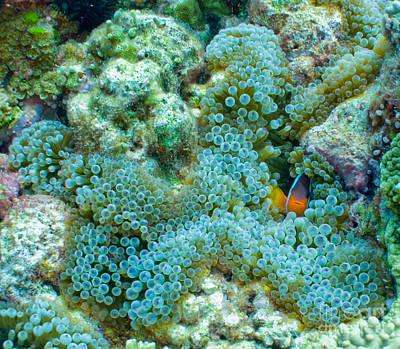 Clownfish Peek-a-boo Poster