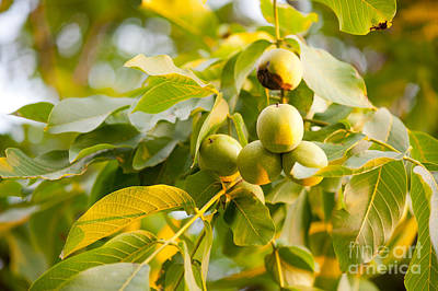 Cluster Of Fresh Ripe Walnut Fruits Sag  Poster by Arletta Cwalina