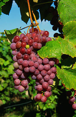 Cluster Of Grapes Ripe For Harvesting Poster