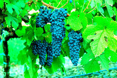 Cluster Of Wine Grapes Poster by Jeff Swan