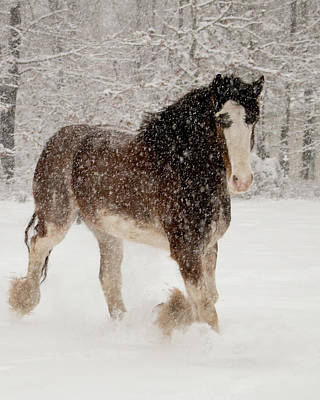 Clydesdale In The Snow Poster