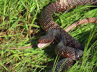 Coachwhip Snake In Grass Poster by John Myers