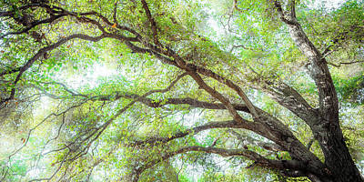 Coast Live Oak Branches Poster