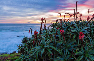 Coastal Aloes Poster by Jonathan Nguyen