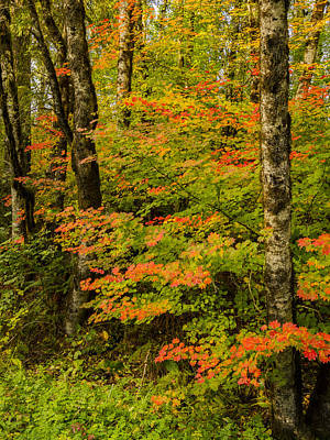 Coastal Vine Maple In Fall Poster