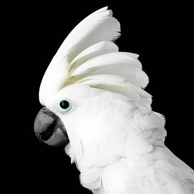 Cockatoo Alba Poster