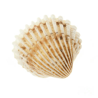 Cockle Shell Poster