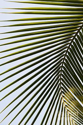 Coconut Palm Leaf Poster by Tim Gainey