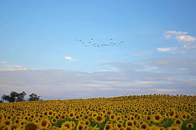 Colby Farms Sunflower Field With Birds Overhead Poster