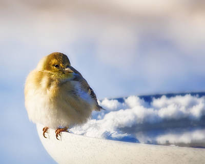 Cold American Goldfinch Poster