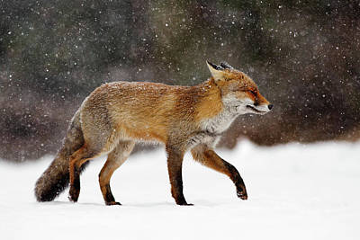 Cold As Ice - Red Fox In A Snow Blizzard Poster by Roeselien Raimond